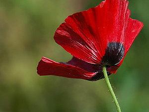 АКЦИЯ. Рисуем МАК-цветок порока. 2,5 часа за 500 руб(все включено)   Ярмарка Мастеров - ручная работа, handmade