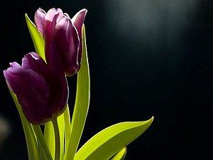Черный тюльпан: цветок, роман, любовь и надежда. | Ярмарка Мастеров - ручная работа, handmade