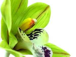 МК по лепке орхидеи Цимбидиум. Осталось 2 места.   Ярмарка Мастеров - ручная работа, handmade
