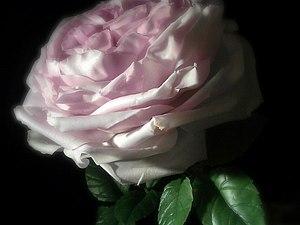 Староанглийская роза из полимерной глины. | Ярмарка Мастеров - ручная работа, handmade