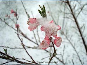 Цветущий персик в цвету... Вот так у нас сегодня после вчерашнего снегопада...   Ярмарка Мастеров - ручная работа, handmade