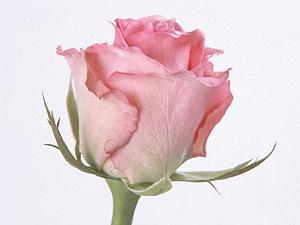 Роза за 500р! | Ярмарка Мастеров - ручная работа, handmade