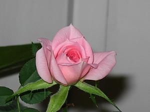 Весна не за горами! У меня зацвела роза!   Ярмарка Мастеров - ручная работа, handmade