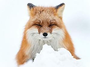 Лисы и лисицы как вдохновение в творчестве. Фотографии Ивана Кислова   Ярмарка Мастеров - ручная работа, handmade