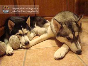 Лечебные свойства собачьей шерсти | Ярмарка Мастеров - ручная работа, handmade