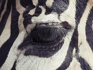 Фотографии глаз животных от Оскара Киутата. Ярмарка Мастеров - ручная работа, handmade.