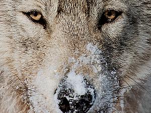 Волки и лисы | Ярмарка Мастеров - ручная работа, handmade