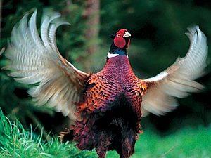 Каждый охотник желает знать, где сидит фазан | Ярмарка Мастеров - ручная работа, handmade