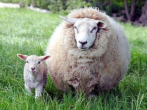 Чудесные свойства шерсти | Ярмарка Мастеров - ручная работа, handmade