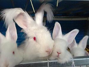 Ангорские кролики впервые появились в Европе почти 300 лет назад во Франции.   Ярмарка Мастеров - ручная работа, handmade