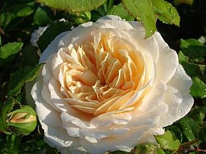 Мастер класс староанглийская роза из сахарной мастики | Ярмарка Мастеров - ручная работа, handmade