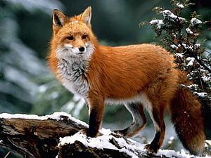 Еще 10 занимательных фактов о лисах | Ярмарка Мастеров - ручная работа, handmade