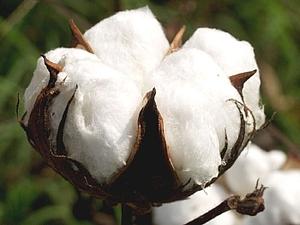 растение из которого делают пряжу - фото 10