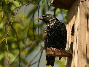 Чего хотят птицы? (Рекомендации, как повесить скворечник) | Ярмарка Мастеров - ручная работа, handmade