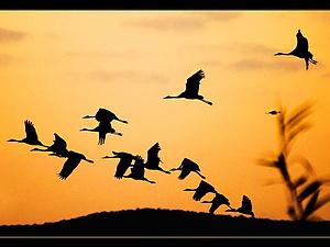 Как птицы спят во время перелетов   Ярмарка Мастеров - ручная работа, handmade