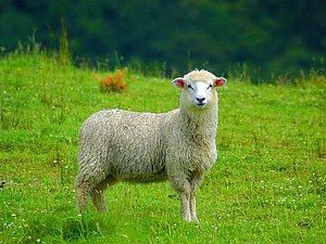 Полезные свойства овечьей шерсти и шкур | Ярмарка Мастеров - ручная работа, handmade