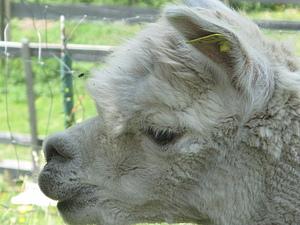Как я на ферму альпак ездила, история с продолжением )) | Ярмарка Мастеров - ручная работа, handmade