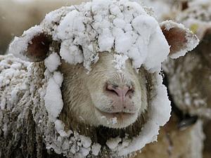 Овца -Свойства Шерсти | Ярмарка Мастеров - ручная работа, handmade