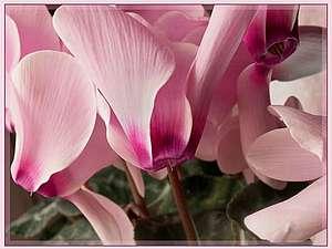 Календарь цветов - январь (цикламены) | Ярмарка Мастеров - ручная работа, handmade