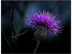 Шотландская роза