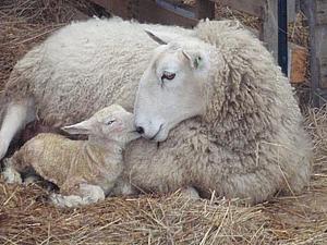 Lambing Time | Ярмарка Мастеров - ручная работа, handmade