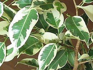 Ветка фикуса Бенджамина с пятнистыми листьями. Ярмарка Мастеров - ручная работа, handmade.