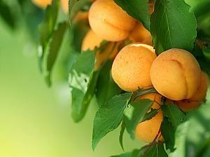 Сказка о персиках   Ярмарка Мастеров - ручная работа, handmade