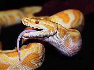 Змеиный жир | Ярмарка Мастеров - ручная работа, handmade