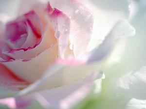 Магия цветов. Роза. | Ярмарка Мастеров - ручная работа, handmade