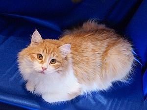 Какая шерсть соответствует цвету этого кота?   Ярмарка Мастеров - ручная работа, handmade