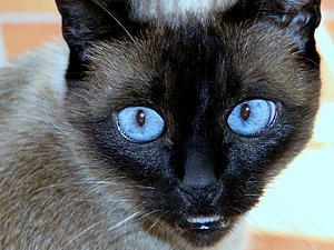 Рисуем реалистичную радужку глаза для сиамской кошки в технике фрактальной графики. Ярмарка Мастеров - ручная работа, handmade.