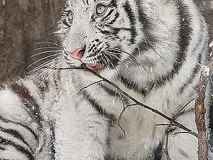 РИСУЕМ двух тигрят тушью и акварелью. | Ярмарка Мастеров - ручная работа, handmade