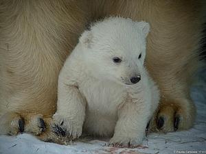 В Новосибирском зоопарке родился белый медвежонок | Ярмарка Мастеров - ручная работа, handmade