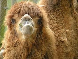 Верблюд. Пряжа в наличии ждет ваших идей ) | Ярмарка Мастеров - ручная работа, handmade