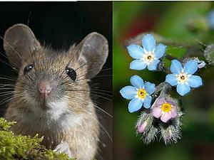 Мышкино ушко, или Ещё немного о незабудковом вдохновении | Ярмарка Мастеров - ручная работа, handmade
