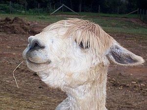 Записная книжка. Альпака, вид ламы | Ярмарка Мастеров - ручная работа, handmade