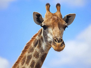 А почему, собственно, жирафа?..   Ярмарка Мастеров - ручная работа, handmade