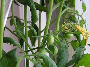 Огород  на  окне .   Ярмарка Мастеров - ручная работа, handmade