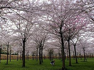 Цветы как источник вдохновения. Фестиваль цветущей сакуры в Нидерландах. Ярмарка Мастеров - ручная работа, handmade.