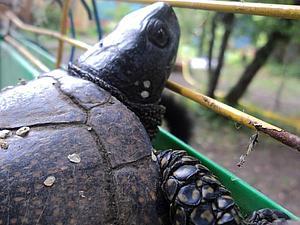 Удивительная история или Подмосковная черепаха | Ярмарка Мастеров - ручная работа, handmade