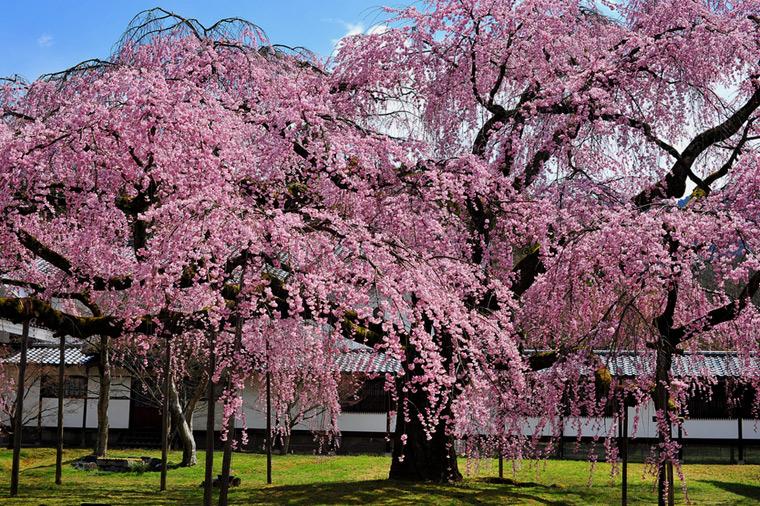 Bilo jednom jedno drvo - Page 2 Sakura19