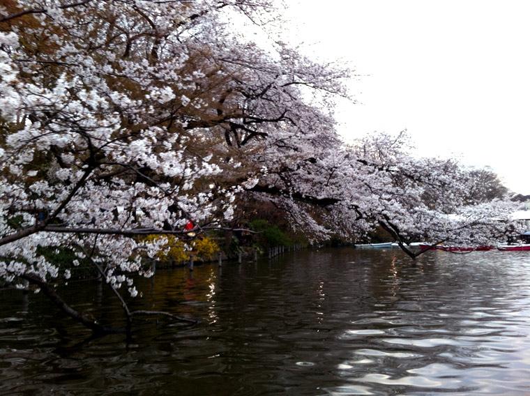 Bilo jednom jedno drvo - Page 2 Sakura7