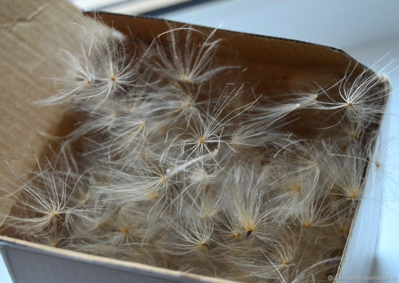 Одуванчики, семена, Сухоцветы, Миасс,  Фото №1