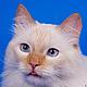 Фото и видео услуги ручной работы. Ярмарка Мастеров - ручная работа. Купить Студийная фотосъемка кошек. Handmade. Фотосессия, Кошки