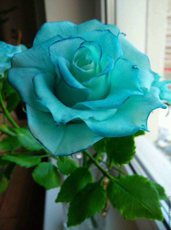 розы голубые фото