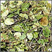 Боровая матка - травы Крыма