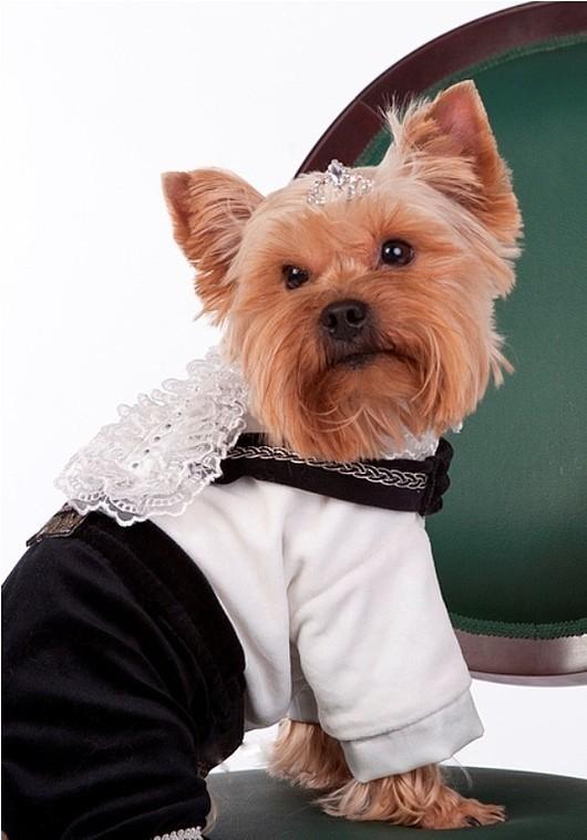 """Одежда для собак, ручной работы. Ярмарка Мастеров - ручная работа. Купить Костюм нарядный """"Принц"""". Handmade. Йорк, принц, кружево"""