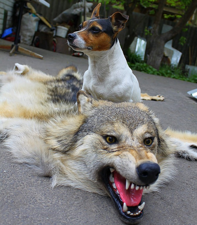 Ковер-шкура из волка, Ковры, Москва,  Фото №1