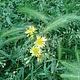 Фотокартина `Зеленые колоски и желтые цветочки` (вариант № 3)