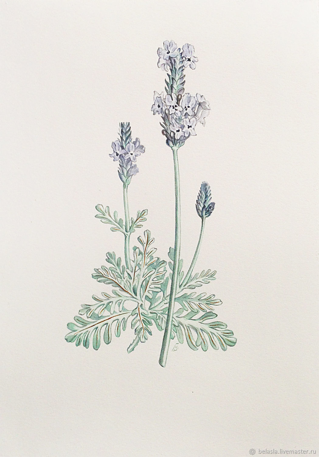 Botanical watercolor, Lavender, Pictures, Moscow,  Фото №1